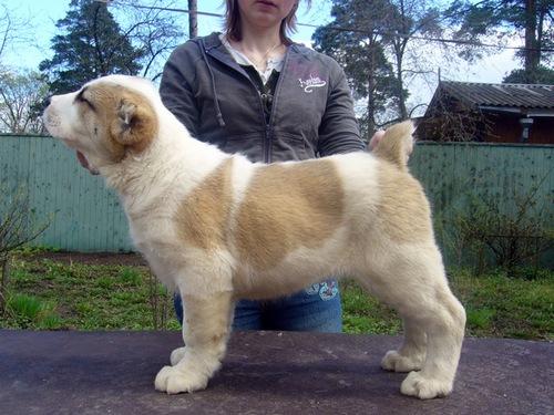 Продаются щенки Среднеазиатской овчарки, Московская область.